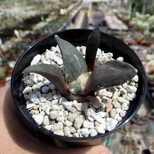 Ariocarpus retusus   Sierra Paila, Mx   CITES, not outside EU