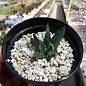 Ariocarpus trigonus v. minor     CITES, not outside EU