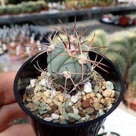 Echinocactus horizonthalonius   Est. Menchaca, Coahuila, Mx.