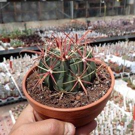 Ferocactus latispinus   Mexiko