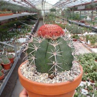 Melocactus bahiensis mit Cephalium
