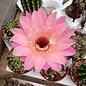 Echinopsis-Hybr. rot  x Charlemagne
