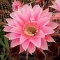 Echinopsis-Hybr. `Ave Maria` Rheingold 248