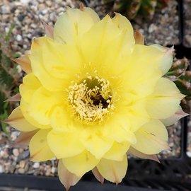 Echinopsis-Hybr. Maas gelb