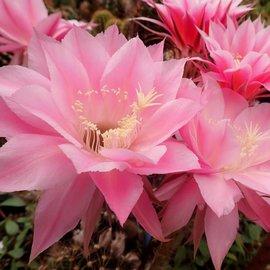 Echinopsis-Hybr. Pink Diamond
