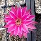Echinopsis-Hybr. Raspberry Ripple