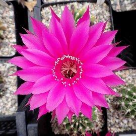Echinopsis-Hybr. Rot-Lila
