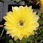 Echinopsis-Hybr. Roth  7