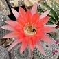 Echinopsis-Hybr. Zutschke 343