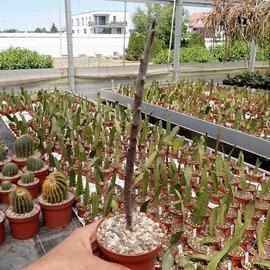 Ceropegia variegata   Maji Ya, Chumvi, Kenya