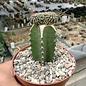 Euphorbia phillipsioides     gepfr. cristata