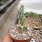 Euphorbia spec. Cap Guardafui   gepfr.
