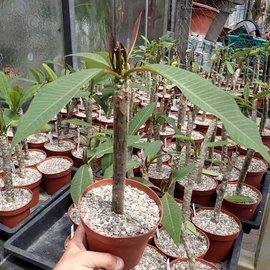 Plumeria-Hybr. Yellow India