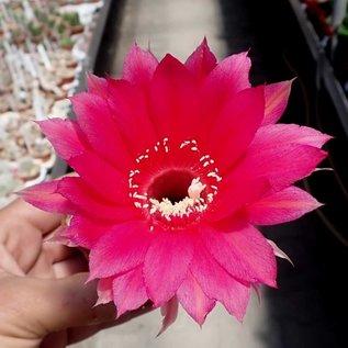 Echinopsis-Hybr. Kardinal  Rheingold 201