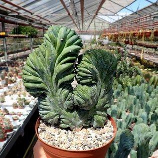 Myrtillocactus geometrizans     cristata