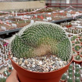 Mammillaria spinosissima Un Pico,     cristata