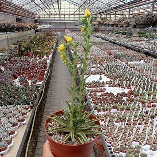 Echeveria bifida