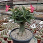 Adenium obesum cv. Border