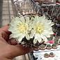 Gymnocalycium baldianum cv. Albiflora