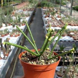 Rhipsalis baccifera f. cassutha  syn. cassutha