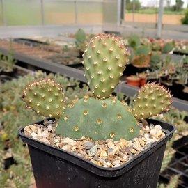 Opuntia basilaris-Hybr. cv. Bern      (dw)