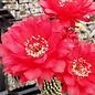 Echinopsis-Hybr. Wild Red Berry