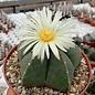 Astrophytum myriostigma v. nudum