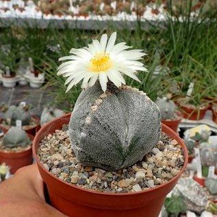 Astrophytum myriostigma cv. tricostata