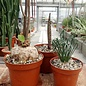 Offer of the month Bulbs & Tuberous plants