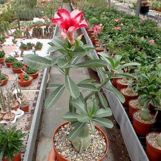 Adenium obesum Chang Exhibition   gepfr.