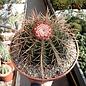 Melocactus ernestii mit Cephalium