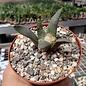 Ariocarpus retusus      CITES, not outside EU