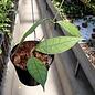 Hoya sp. Kalimantan