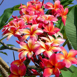 Plumeria-Hybr. Mixed Colours