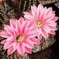 Echinopsis-Hybr. Illusion C Rheingold 214 ?