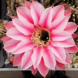Echinopsis-Hybr. Sonata Rheingold 215