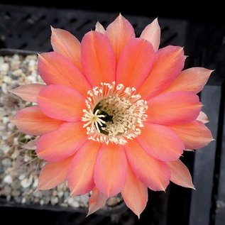 Echinopsis-Hybr. Roth 22