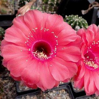 Echinopsis-Hybr. Peace Eros Schick Hybride