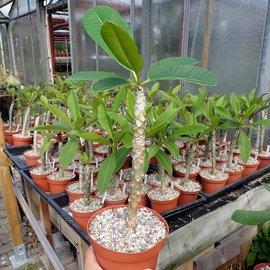 Plumeria-Hybr. white India