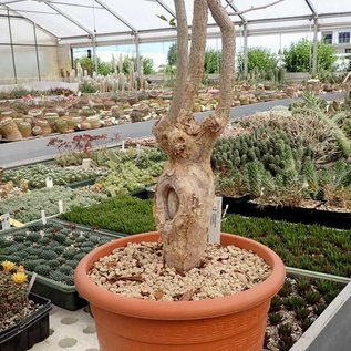 Commiphora humbertii   N-Madagaskar