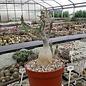 Adenium swazicum XL