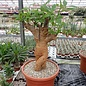 Adansonia digitata XL Baobab