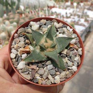 Ariocarpus trigonus v. confusus cv. Weißgelbe Blüte  Aramberri   CITES, not outside EU