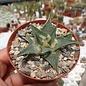 Ariocarpus trigonus v. confusus cv. Weiße Blüte  Aramberri   CITES, not outside EU