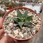 Ariocarpus retusus v. scapharostroides elongatus     CITES, not outside EU