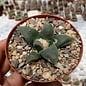 Ariocarpus furfuraceus v. rostratus     CITES, not outside EU