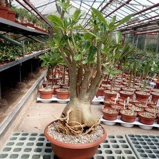 Adenium spec. Senegal