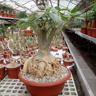 Adenium spec. Senegal XL