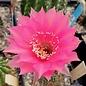 Echinopsis-Hybr. Wiener Blut  Rheingold 273