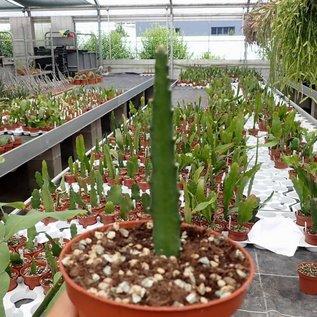 Disocactus cinnabarinus varietät